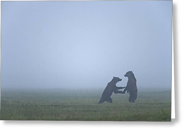 Rearing Up Greeting Cards - In The Morning Mist, Two Brown Bears Greeting Card by Michael Melford