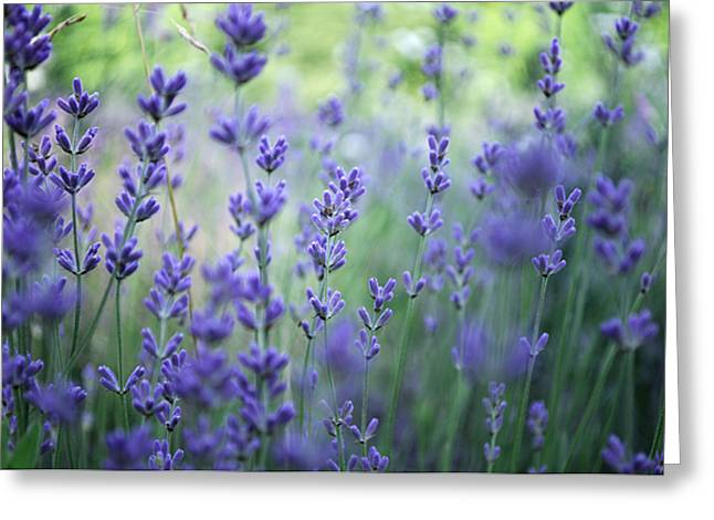 Holy Thursday Greeting Cards - Lavender plant field Greeting Card by Adrian Hancu