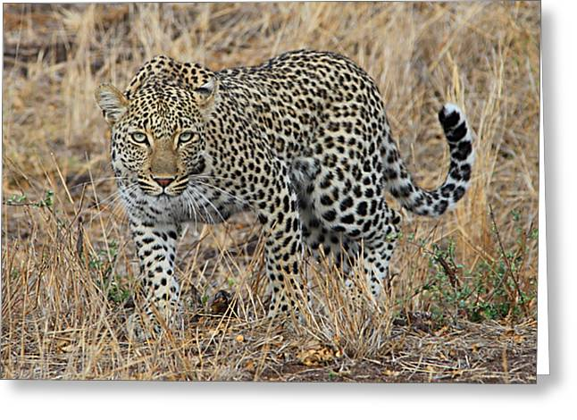 Golden Leopard Greeting Cards - Leopard Greeting Card by Tamar Toerien