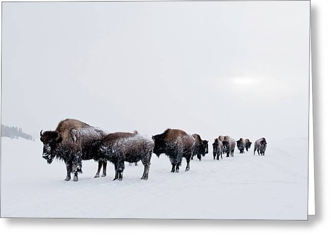 Buffalo Extinction Greeting Cards - Long Brown Line Greeting Card by D Robert Franz