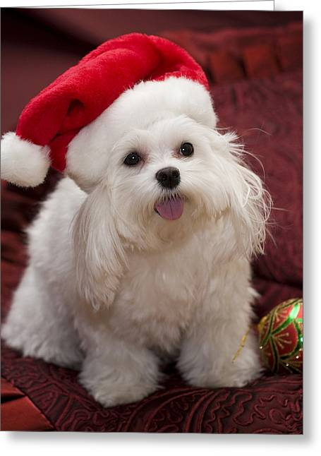 Leda Photography Greeting Cards - Maltese Santa Greeting Card by Leslie Leda