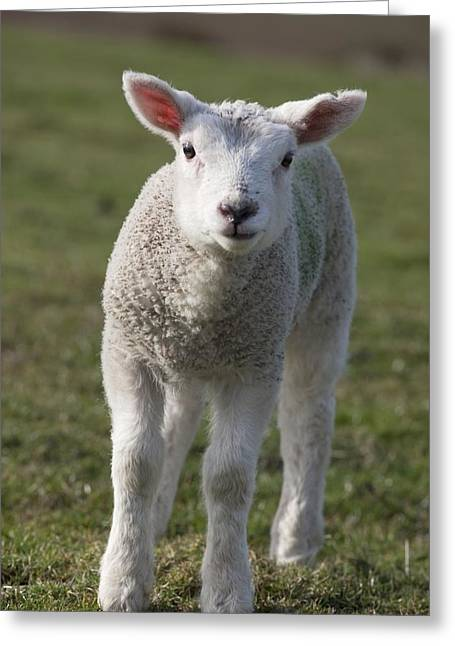 Full-length Portrait Greeting Cards - Northumberland, England A White Lamb Greeting Card by John Short