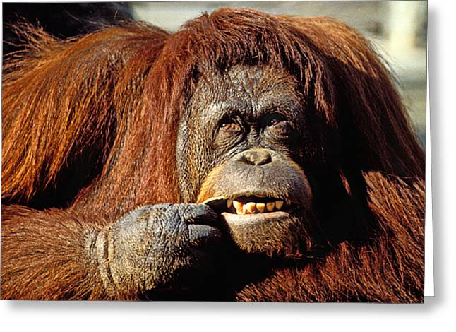 Orangutans Greeting Cards - Orangutan  Greeting Card by Garry Gay
