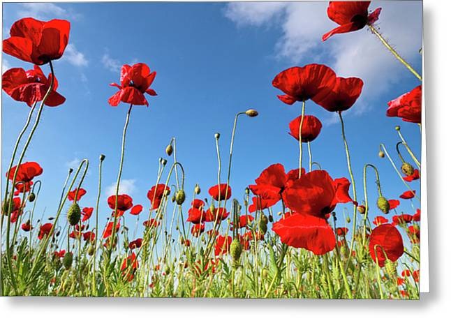 Flower Blossom Greeting Cards - Poppies Season Greeting Card by Evgeni Dinev