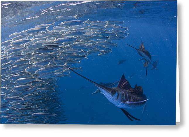 Sailfish Hunt Sardines Using Greeting Card by Paul Nicklen