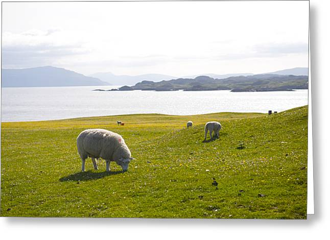 Inner Space Greeting Cards - Sheep Grazing On Grass Of Iona, Isle Greeting Card by Keenpress