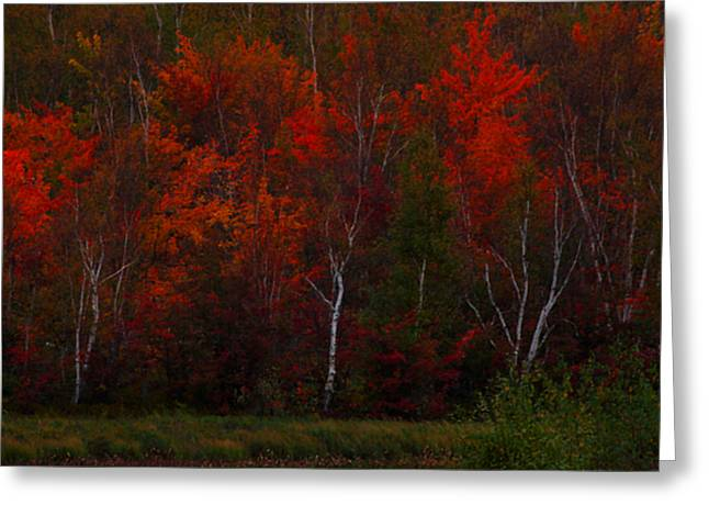 Birch Tree Greeting Cards - The Reds Have It Greeting Card by Marjorie Imbeau