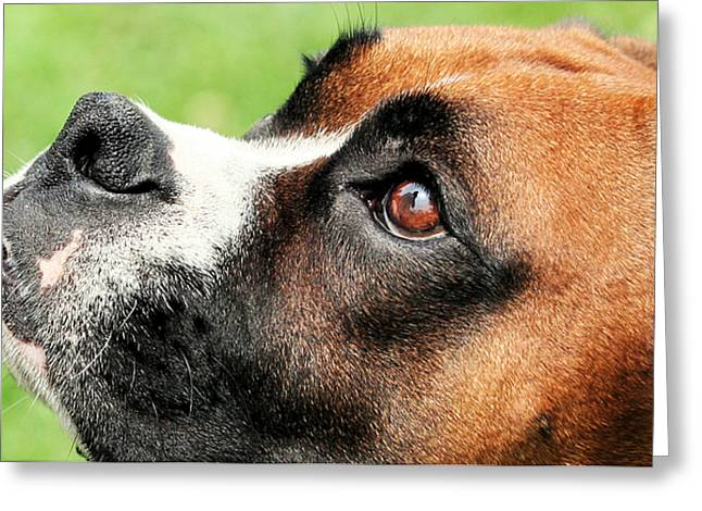 Thinking Of You - Boxer - Vindy Greeting Card by Renae Laughner