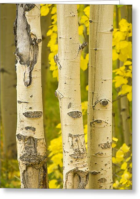 Autumn Prints Greeting Cards - Three Autumn Aspens Greeting Card by James BO  Insogna