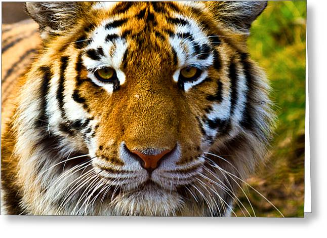 Carnivore Greeting Cards - Tiger Greeting Card by Gert Lavsen