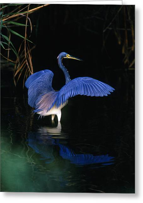 Tri Colored Greeting Cards - Tri-colored Heron - FS000031 Greeting Card by Daniel Dempster