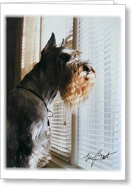 Standard Schnauzer Greeting Cards - Waiting at the Window Greeting Card by Maxine Bochnia