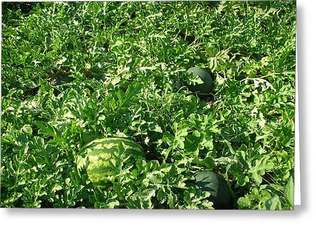 Watermelon Greeting Cards - Watermelon Patch Greeting Card by Darlene Prowell