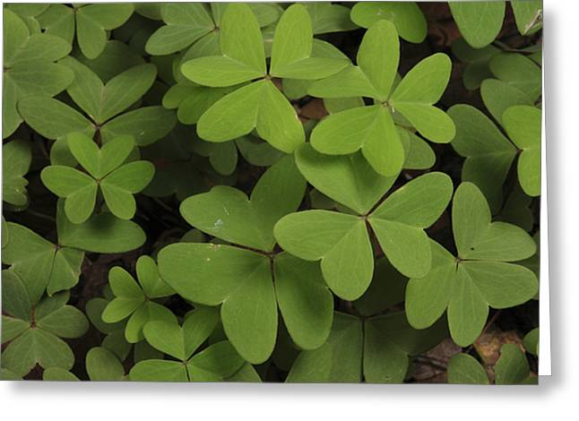 Ground Cover Greeting Cards - Wood Sorrel Shamrock Greeting Card by George Grall