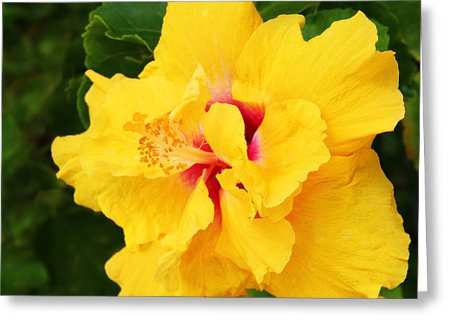 Kerri Ligatich Greeting Cards - Yellow Double Hibiscus Greeting Card by Kerri Ligatich