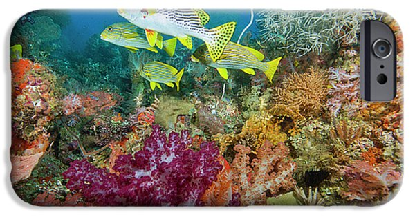 Undersea Photography iPhone Cases - Blue Banded Sweetlip Fish And Coral iPhone Case by Beverly Factor