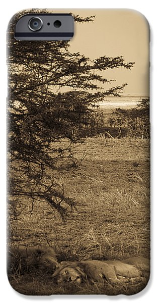 Sleeping Places iPhone Cases - Male Lions Snoozing in Shade iPhone Case by Darcy Michaelchuk