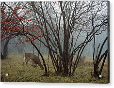 A White-tailed Deer Forages Acrylic Print by Raymond Gehman