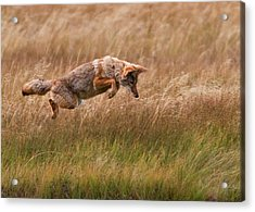 Coyote Leaping - Gibbon Meadows Acrylic Print by Photo by DCDavis