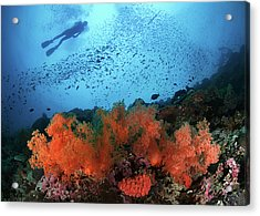 Diver And Soft Corals In Pescador Island Acrylic Print by Nature, underwater and art photos. www.Narchuk.com