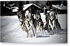 Mushing Acrylic Print by Daniel Wildi Photography