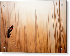 Red-winged Black Bird In Song Acrylic Print by Michael Lawrence Photography