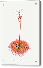 Shortleaf Sundew Acrylic Print by Scott Bennett