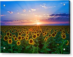 Sunflower Acrylic Print by Hansrico Photography