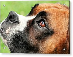 Thinking Of You - Boxer - Vindy Acrylic Print by Renae Laughner