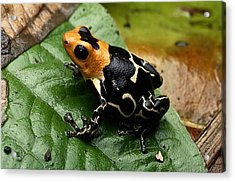 This Is The Poison Frog Dendrobates Acrylic Print by George Grall