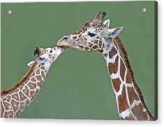 Two Giraffes Acrylic Print by images by Nancy Chow