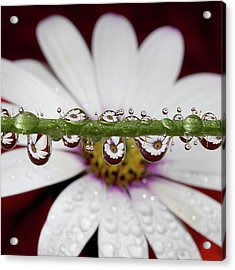 Water Drops And Daisy Acrylic Print by Dr T J Martin