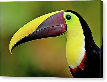Chestnut Mandibled Toucan Canvas Print by Photography by Jean-Luc Baron