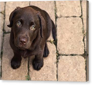 Chocolate Lab Puppy Looking Up Canvas Print by Jody Trappe Photography