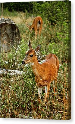 Curious Fawn In Grassy Meadow Canvas Print by Christopher Kimmel