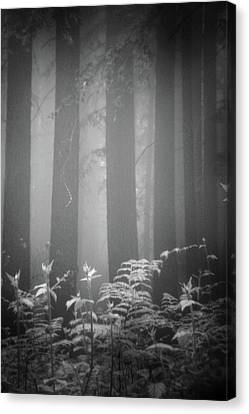Fog And Ferns In Redwoods Forest Canvas Print by Cathy Clark aka CLCsPics