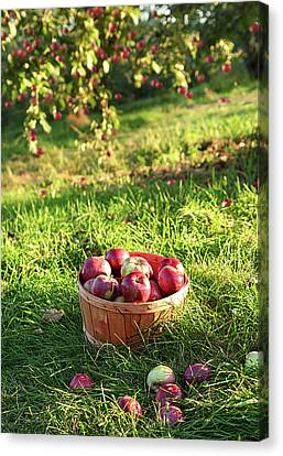 Freshly Picked Apples In The Orchard  Canvas Print by Sandra Cunningham