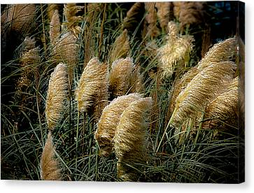 Golden Pampas In The Wind Canvas Print by DigiArt Diaries by Vicky B Fuller