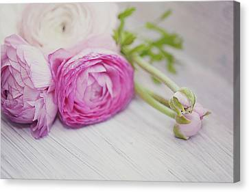 Pink Ranunculus Flowers On White Wooden Shelf Canvas Print by Isabelle Lafrance Photography