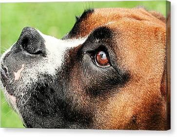 Thinking Of You - Boxer - Vindy Canvas Print by Renae Laughner