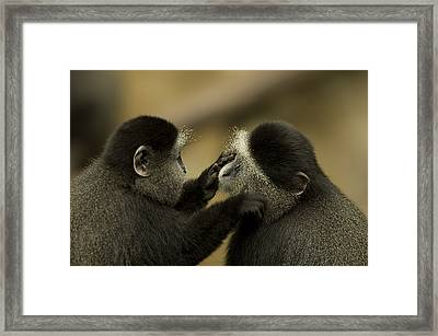 A Blue Monkey Cercopithecus Mitis Framed Print by Joel Sartore