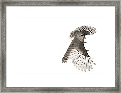 A Tufted Titmouse In Flight Framed Print by David  Liittschwager