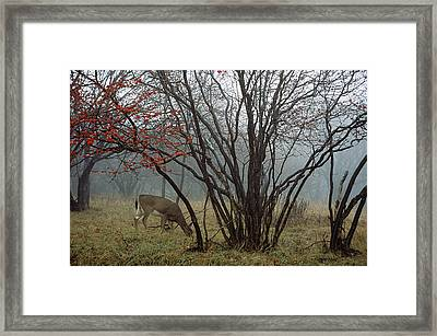 A White-tailed Deer Forages Framed Print by Raymond Gehman