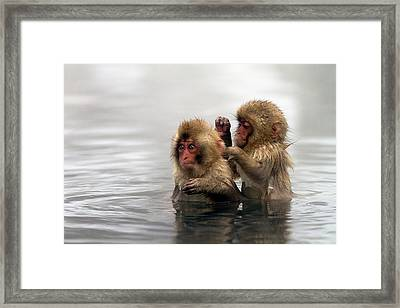 Baby Japanese Macaques snow Monkeys Framed Print by Oscar Tarneberg