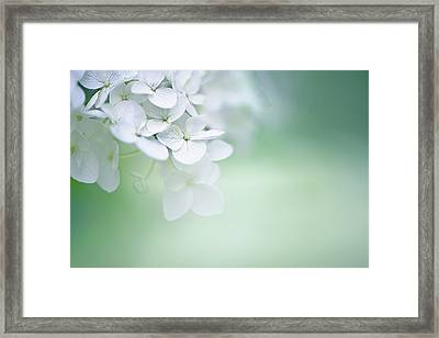 Close Up Of White Hydrangea Framed Print by Elisabeth Schmitt