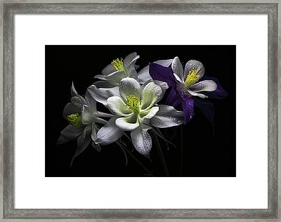 Columbine Flowers Framed Print by Flower photography by Viorica Maghetiu