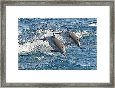 Common Dolphins Leaping Framed Print by Tim Melling