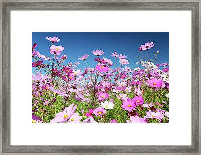 Cosmos Flowers Framed Print by Neil Overy