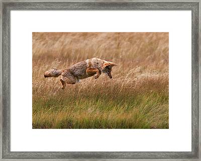 Coyote Leaping - Gibbon Meadows Framed Print by Photo by DCDavis