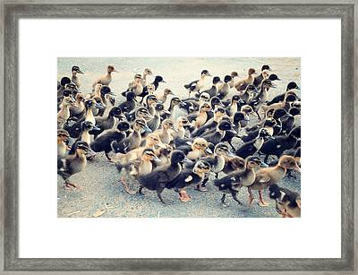 Ducklings Framed Print by Raj's Photography